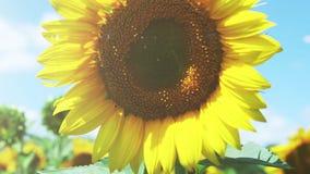 五颜六色的向日葵领域和深蓝天 股票录像