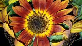 五颜六色的向日葵 库存照片