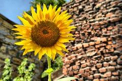 五颜六色的向日葵 免版税库存照片