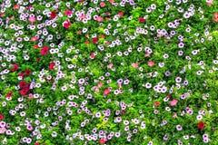 五颜六色的喇叭花背景 免版税库存照片