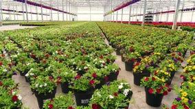 五颜六色的喇叭花自温室,五颜六色的花自温室,花待售,生长房子花增长 影视素材