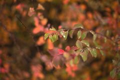 五颜六色的在一个分支的秋天湿叶子有被弄脏的背景 免版税图库摄影