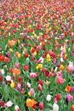 五颜六色的域荷兰郁金香 免版税库存照片