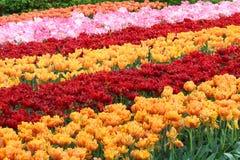 五颜六色的域郁金香 免版税图库摄影