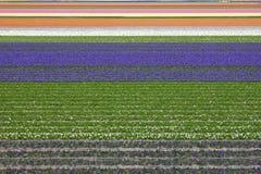 五颜六色的域风信花郁金香 免版税图库摄影