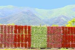 五颜六色的墙壁秋海棠花园山湖Kawaguchiko,日本 库存照片