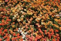 五颜六色的墨西哥百日菊属 库存照片