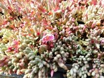 五颜六色的多汁植物 库存照片