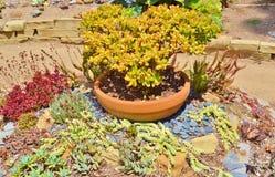 五颜六色的多汁仙人掌庭院&盆的植物 免版税库存图片