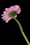 五颜六色的大丁草万寿菊和水下落 免版税图库摄影
