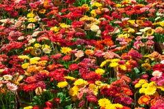 五颜六色的大丁草花 免版税库存图片