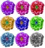 五颜六色的大丽花花在白色背景中 库存照片