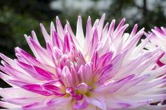 五颜六色的大丽花花 库存照片