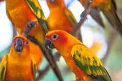 五颜六色的太阳Conure鸟 库存图片