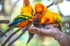 五颜六色的太阳Conure鸟 库存照片