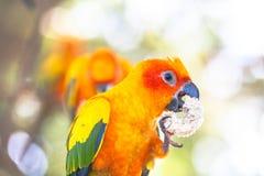 五颜六色的太阳Conure鸟 免版税库存照片