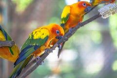 五颜六色的太阳Conure鸟 图库摄影