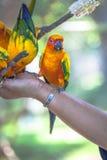 五颜六色的太阳Conure鸟 免版税图库摄影