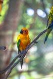 五颜六色的太阳Conure鸟 免版税库存图片