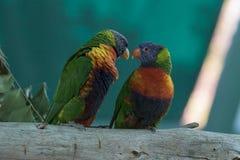 五颜六色的夫妇深度域重点中间鹦鹉模仿浅 免版税库存照片