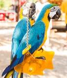 五颜六色的夫妇金刚鹦鹉坐摇摆 免版税库存照片