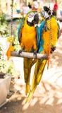 五颜六色的夫妇金刚鹦鹉坐摇摆 库存照片