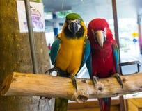 五颜六色的夫妇金刚鹦鹉坐日志 免版税图库摄影