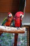 五颜六色的夫妇金刚鹦鹉 图库摄影
