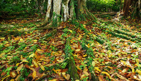 五颜六色的婆罗洲热带树根 库存图片