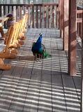 五颜六色的孔雀一个有趣的人的环境 库存图片