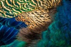 五颜六色的孔雀用羽毛装饰特写镜头背景纹理 免版税库存图片