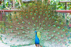 五颜六色的孔雀 免版税库存图片