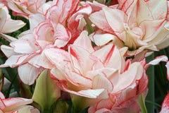 五颜六色的孤挺花花自荷兰温室 图库摄影