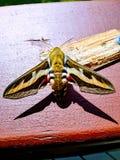 五颜六色的寂静的飞蛾 库存图片