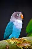 五颜六色的小的鹦鹉 库存照片