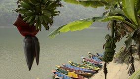 五颜六色的小船和未成熟的香蕉 湖尼泊尔phewa pokhara 影视素材