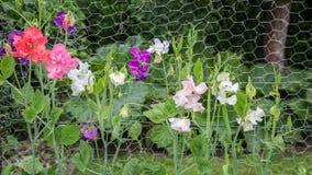 五颜六色的山黧豆属在庭院里 库存照片