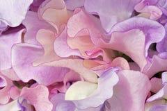 五颜六色的山黧豆属花 免版税库存照片