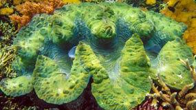 五颜六色的巨型蛤蜊巨蛤gigas在王侯Ampat,印度尼西亚shallows增长  免版税库存图片
