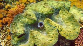 五颜六色的巨型蛤蜊巨蛤gigas在王侯Ampat,印度尼西亚shallows增长  库存照片