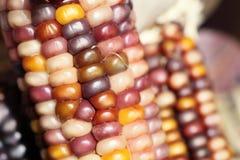 五颜六色的干印第安玉米特写镜头作为装饰的 库存照片