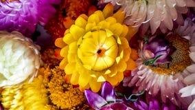 五颜六色的干永恒秸杆开花特写镜头 纸雏菊 免版税库存照片