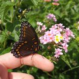 五颜六色的庭院背景围拢的美丽的黑和橙色蝴蝶 免版税库存图片