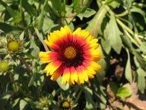 五颜六色的庭院花coneflower 免版税库存图片