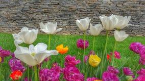 五颜六色的庭院郁金香 免版税库存照片