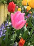 五颜六色的庭院郁金香 库存图片