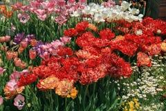 五颜六色的庭院郁金香 免版税库存图片