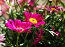 五颜六色的延命菊鲁宾逊的红红色花雏菊延命菊 免版税图库摄影