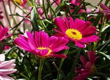 五颜六色的延命菊鲁宾逊的红红色花雏菊延命菊 免版税库存照片