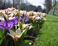 五颜六色的开花在春天的番红花和郁金香在著名荷兰郁金香公园 采取在库肯霍夫,荷兰 库存照片